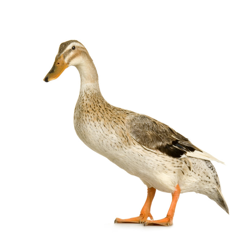 Download Duck Royalty Free Stock Image - Image: 2307636