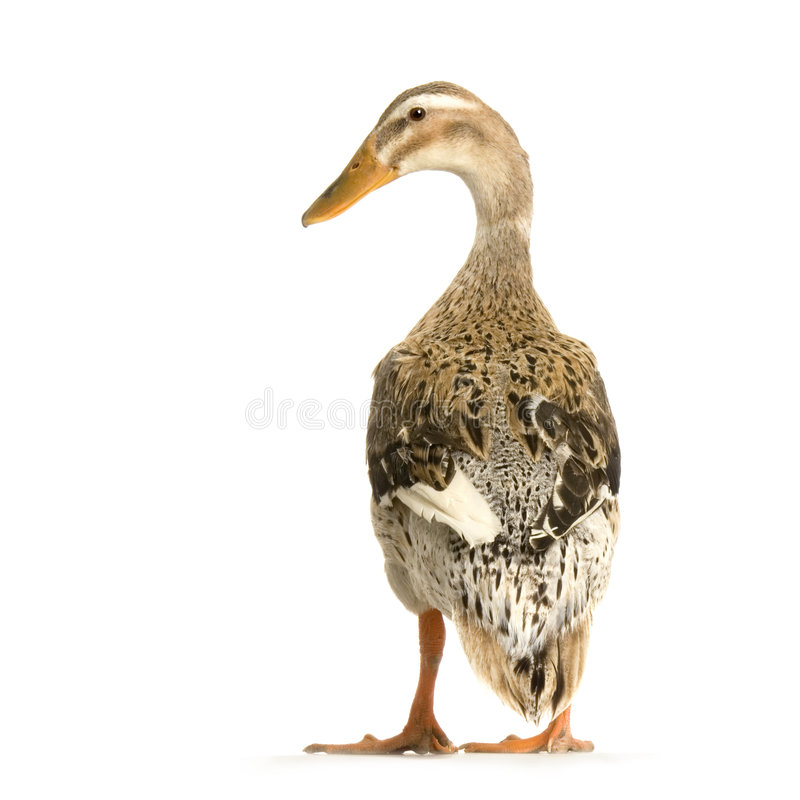 Free Duck Royalty Free Stock Photos - 2307658