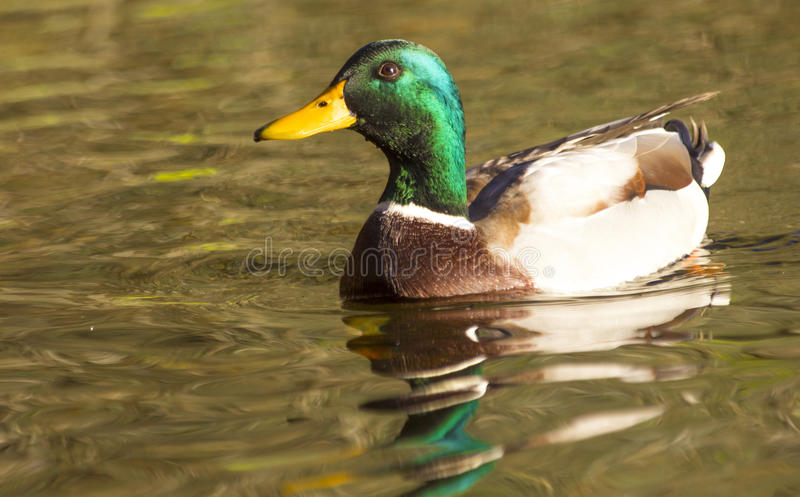 Download Duck stock image. Image of quack, bird, gray, male, feathers - 27144345