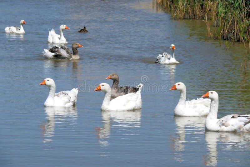 duck zdjęcie royalty free