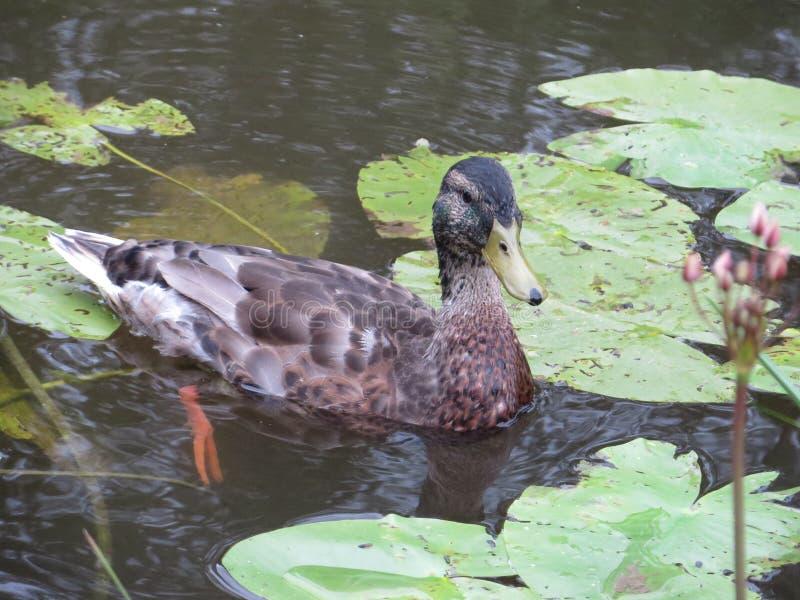 Duck01 库存图片