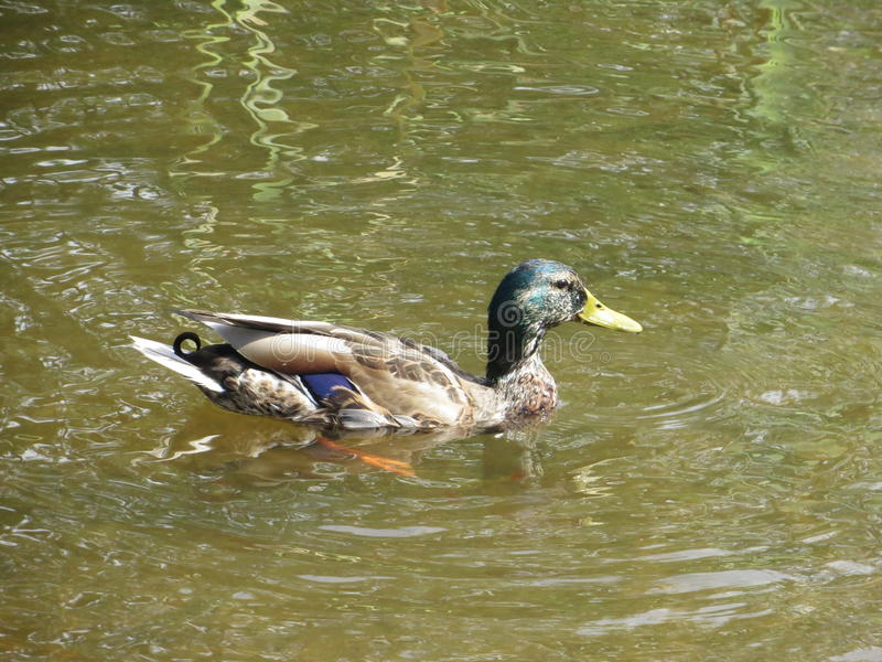 Duck03 免版税库存图片
