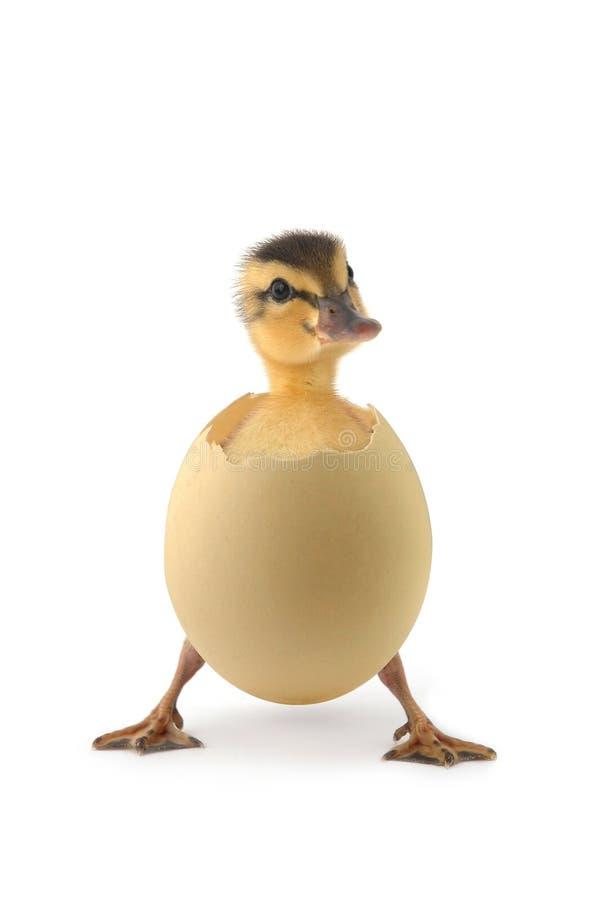 Free Duck Stock Photo - 4818400