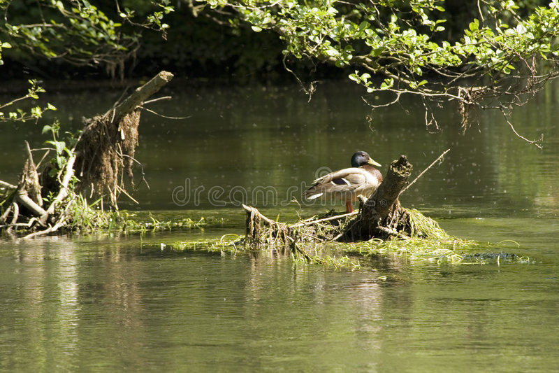 duck fotografia stock