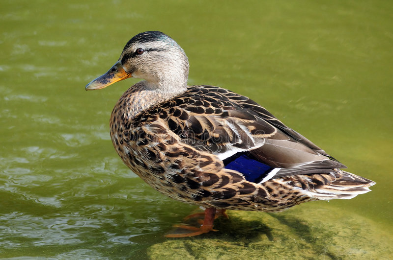 duck obrazy royalty free