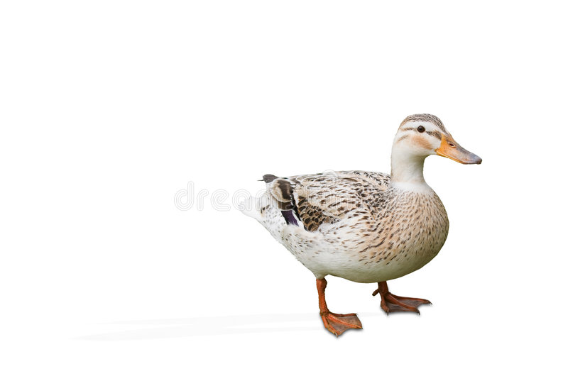 Duck stock photos