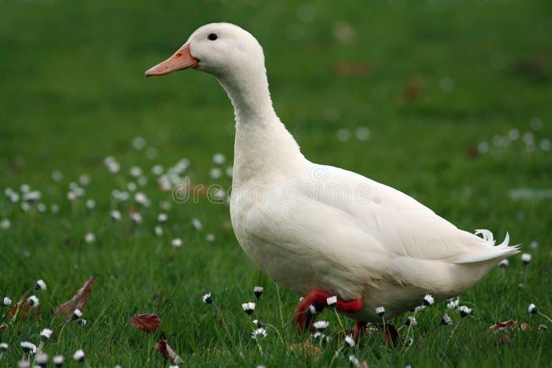 Duck. A duck walking on the lawn