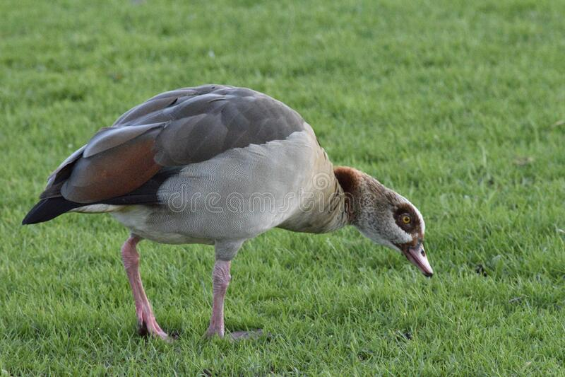 Duck Free Public Domain Cc0 Image