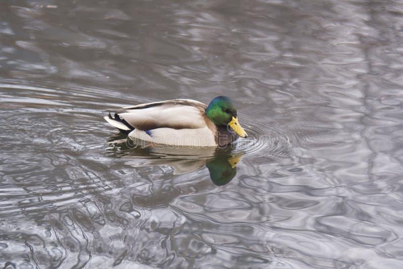 Duck in acqua, esaminante la sua riflessione fotografie stock