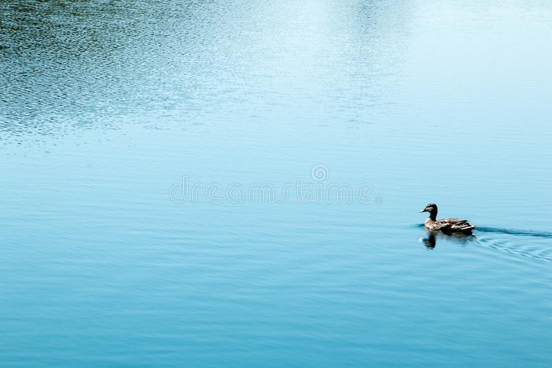 Duck alone royalty free stock photography