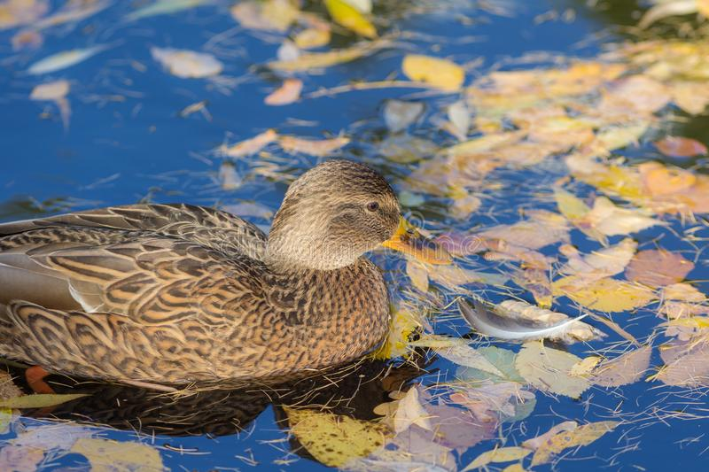 Duck in autumn water closeuo royalty free stock image