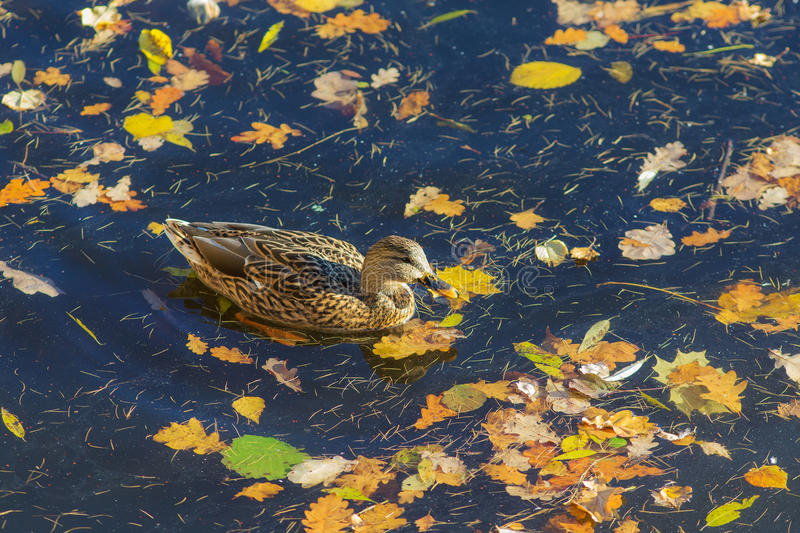 Duck in the autumn water stock photos
