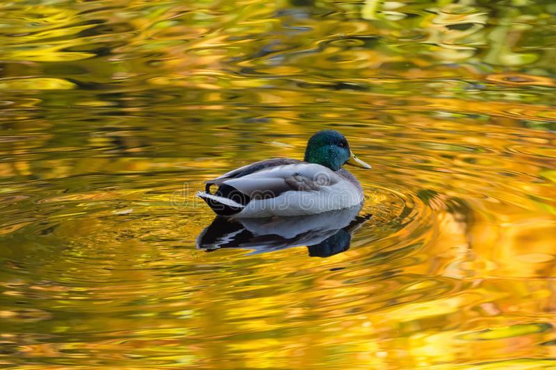 Duck in autumn water stock image