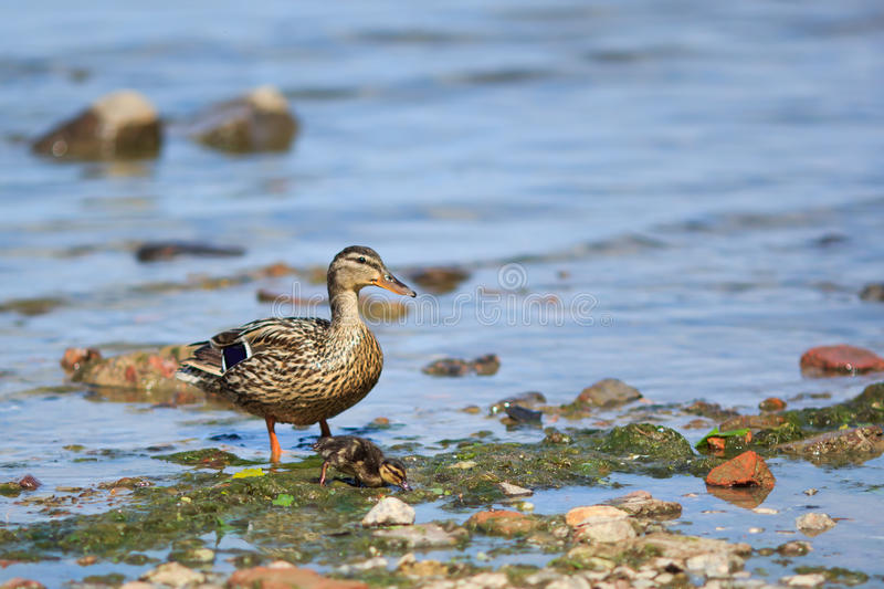 Duck and baby duck royalty free stock images