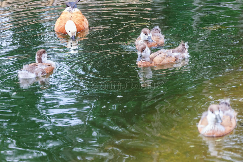 Duck and baby ducklings in a pond. Duck and baby ducklings swimming in a pond stock photo