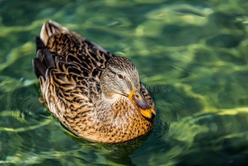 The duck stock photo