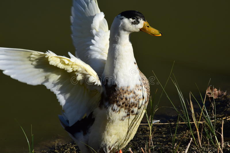 Duck. Beautiful duck, white and black feathers, at the lake, beak, wildlife stock photography