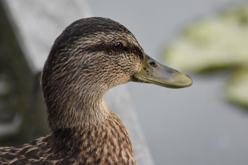 Duck with a big smile stock images