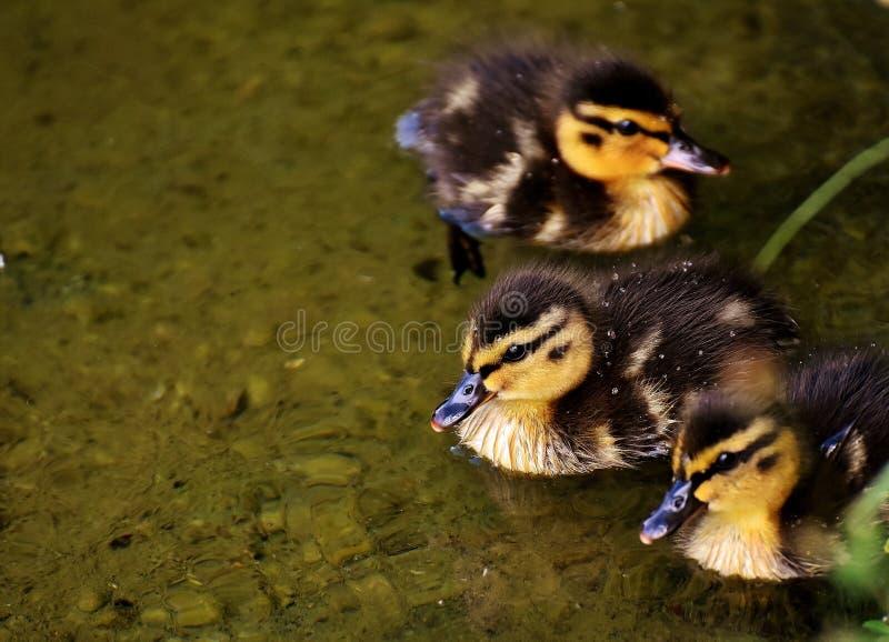 Duck, Bird, Ducks Geese And Swans, Water Bird Free Public Domain Cc0 Image