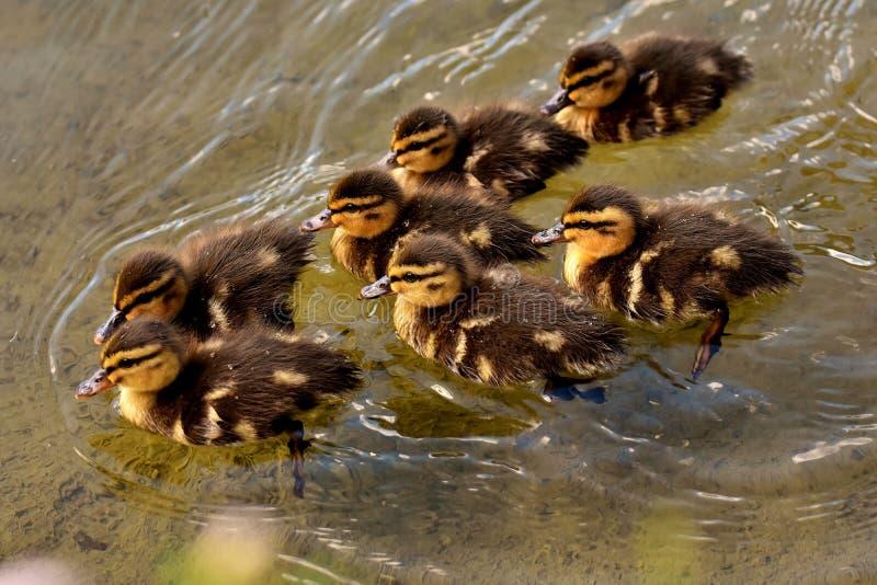 Duck, Bird, Fauna, Ducks Geese And Swans Free Public Domain Cc0 Image