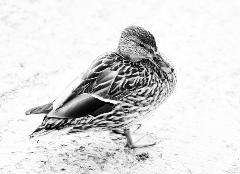 Duck bird fowl nature fauna wildlife plumage black and white photography. Monochrome royalty free stock image