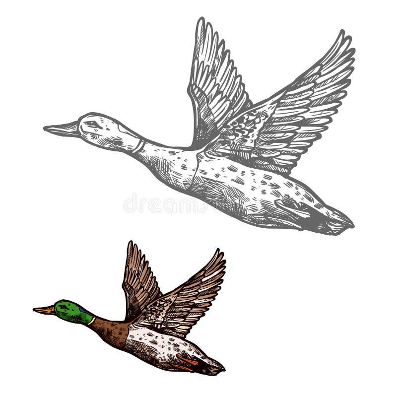 Duck bird sketch of wild or farm waterfowl animal royalty free illustration