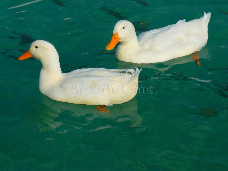 Duck, Bird, Water Bird, Ducks Geese And Swans stock images