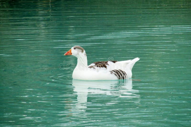 Duck bird in water. White and gray duck bird swimming in blue green pond water stock photo
