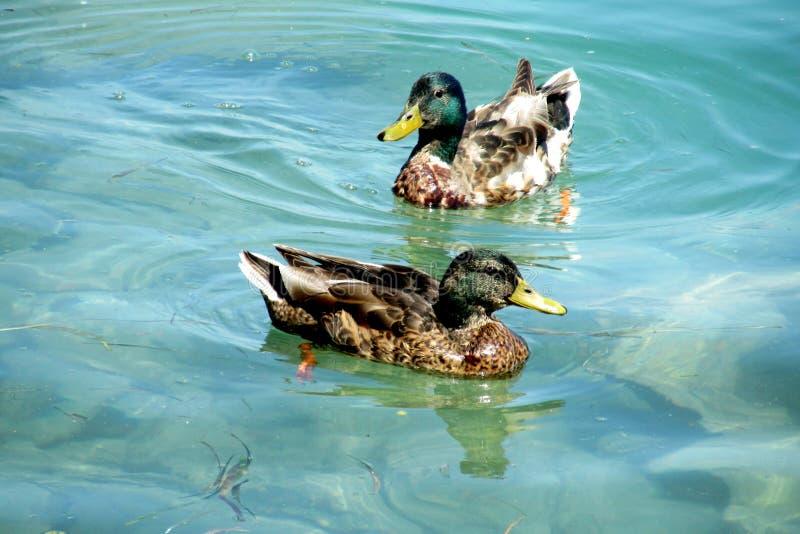 Duck birds swim in water stock photography