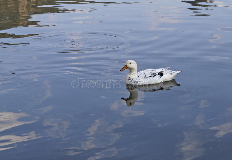Duck on blue lake in South Africa. White duck with black speckles and yellow bill stationary on a blue lake at Gilloy's Farm, Edenvale, Johannesburg, South stock images