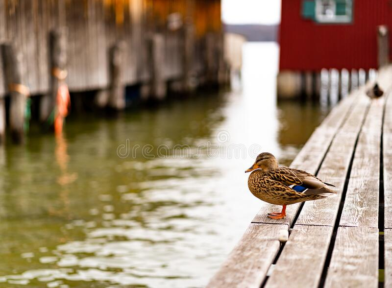 Duck on bridge to boat house. Duck on bridge to red boat house, wooden old grey bridge, brown duck stock photography
