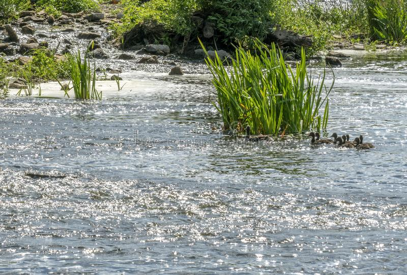 Duck with brood floating on the river. A wild duck with a brood of ducklings floating near the lake shore royalty free stock photos