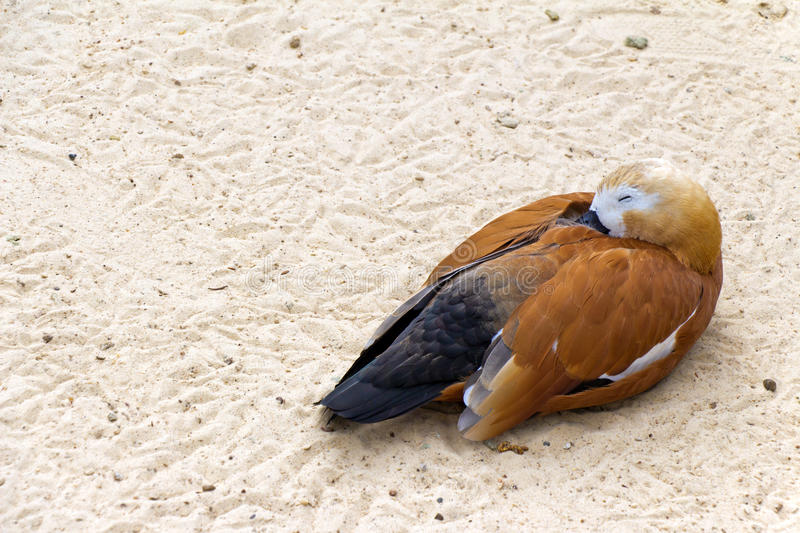 Duck (brown goose) relax and sleeping on the sand (Latin: Tadorna ferruginea). Duck (brown goose) relax and sleeping on the sand (Latin: Tadorna ferruginea royalty free stock photos