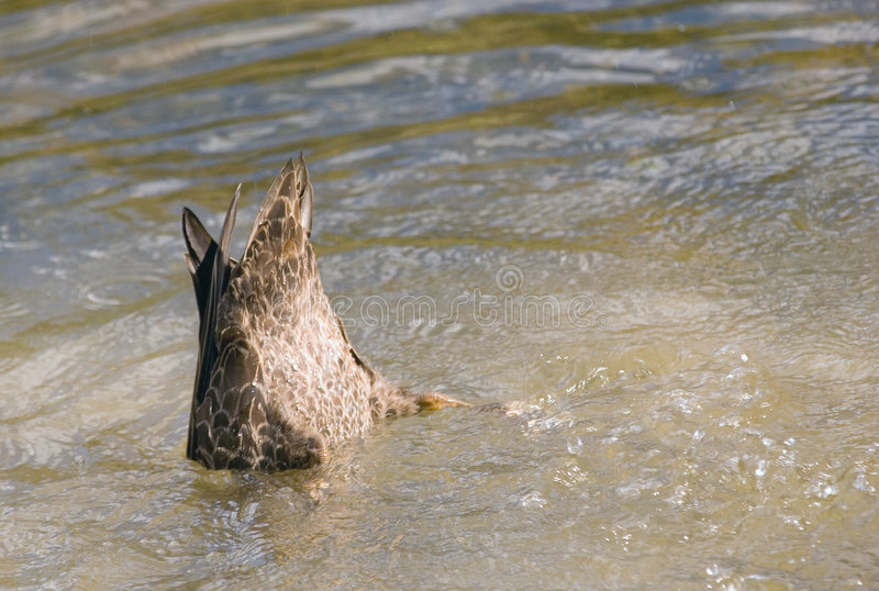 Download Duck stock photo. Image of copy, space, feather, zealand - 2329518