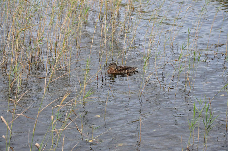 The duck in cane stock photo
