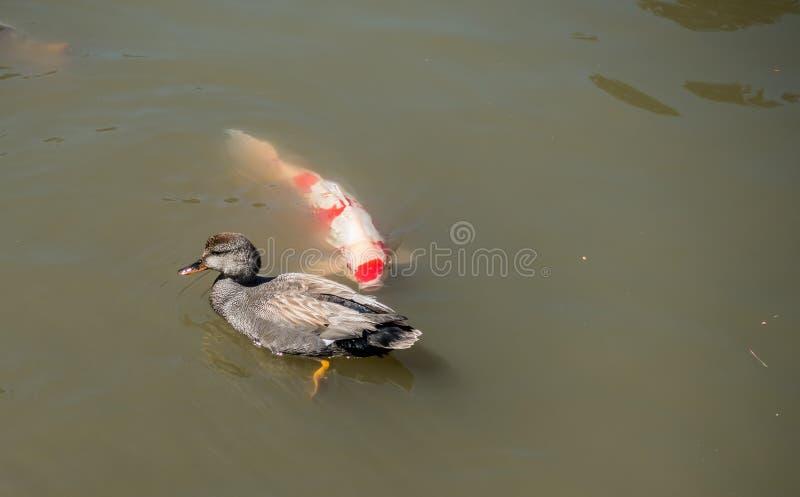 Duck With Carp stock fotografie