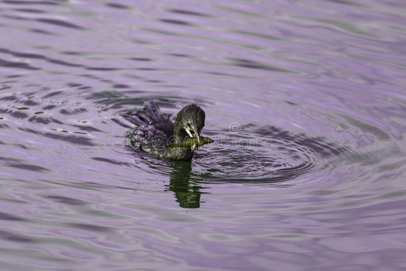 Duck Catching un pescado foto de archivo