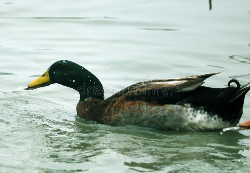 Duck caught a fish royalty free stock image
