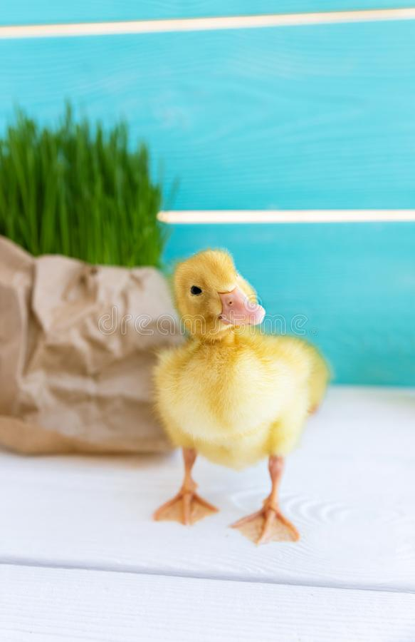Duck Chick en fondo fresco de la hierba Copie el espacio Anad?n fotografía de archivo