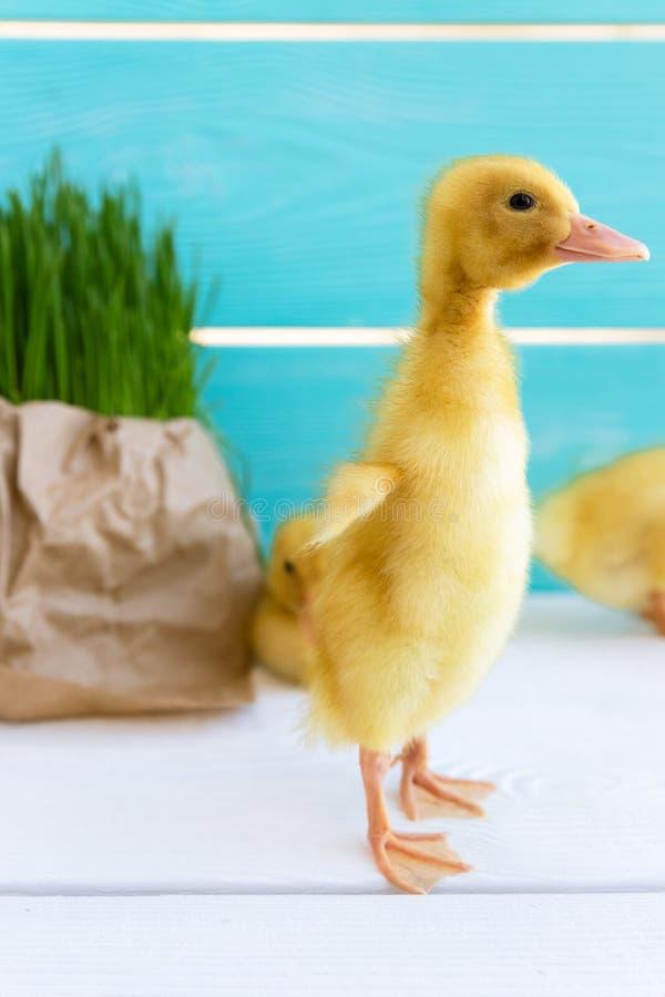 Duck Chick en fondo fresco de la hierba Copie el espacio Anad?n imagen de archivo libre de regalías