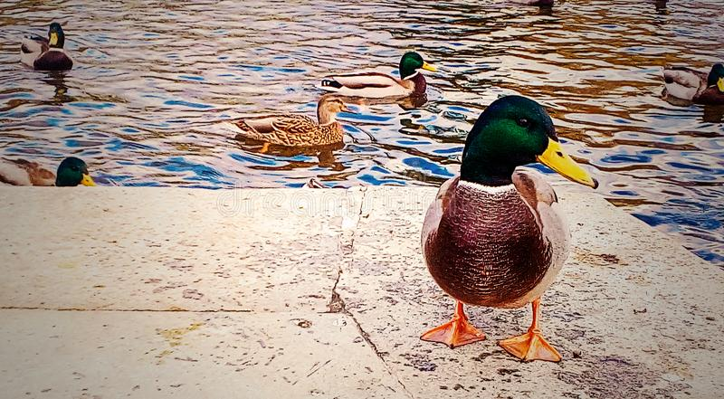 Duck on the city pond royalty free stock photo