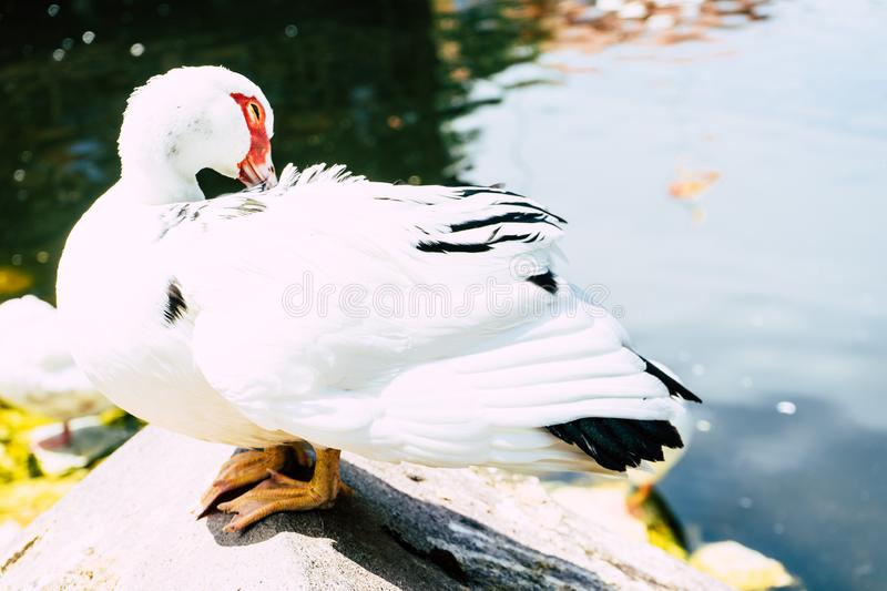 Duck cleaning the feathers in a lake from a restaurant in Macedonia. With a small island stock photos