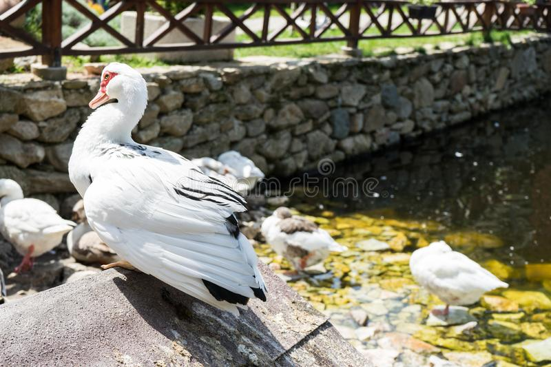 Duck cleaning the feathers in a lake from a restaurant in Macedonia. With a small island wildlife bird nature beak white animal colorful water avian beautiful royalty free stock images