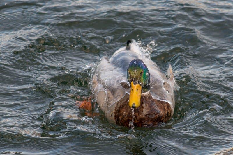 Duck Cleaning Plumage foto de stock