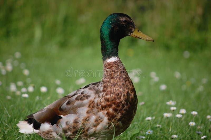 Duck Close imagenes de archivo