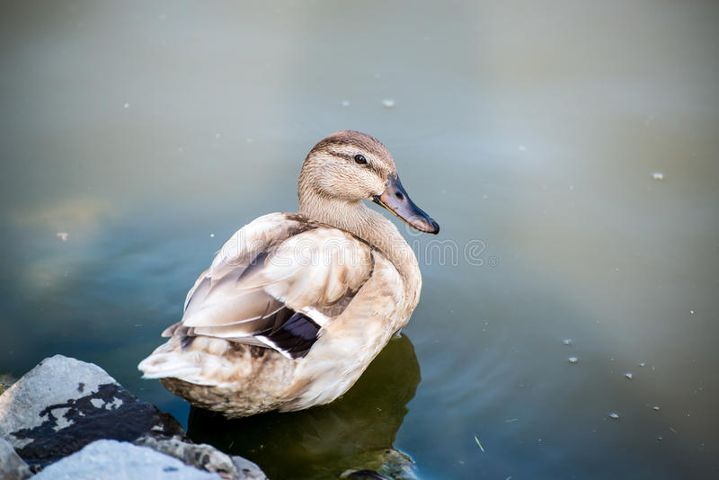 Duck closeup tan duck. A wild tan colored duck in the water stock photography