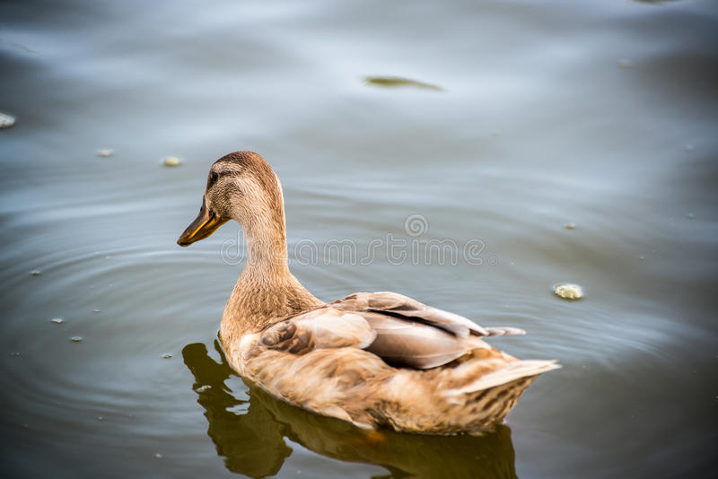 Duck closeup tan duck. A wild tan colored duck in the water royalty free stock photography
