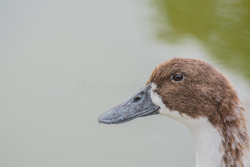 Duck closeup. A closeup view of a duck near water body spotted near pandav mandir in punjab royalty free stock image
