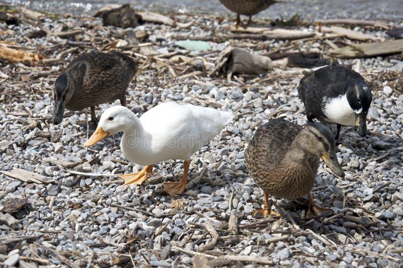 Download Duck on the coast stock image. Image of bird, splash - 23571299