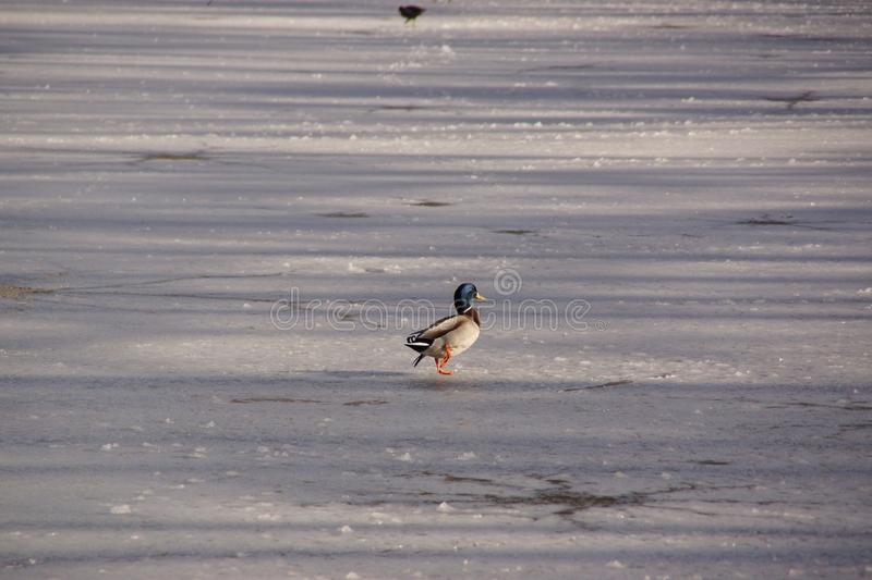 Duck, cold, covered in frost lake stock photo